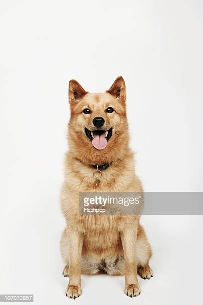 Spitz Stock Photos and Pictures | Getty Images