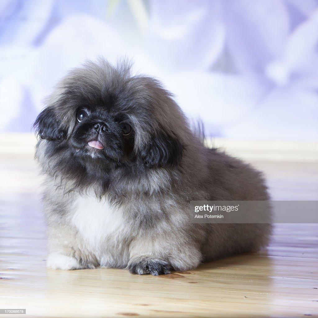 Portrait of Fluffy Brown Pekinese Puppy