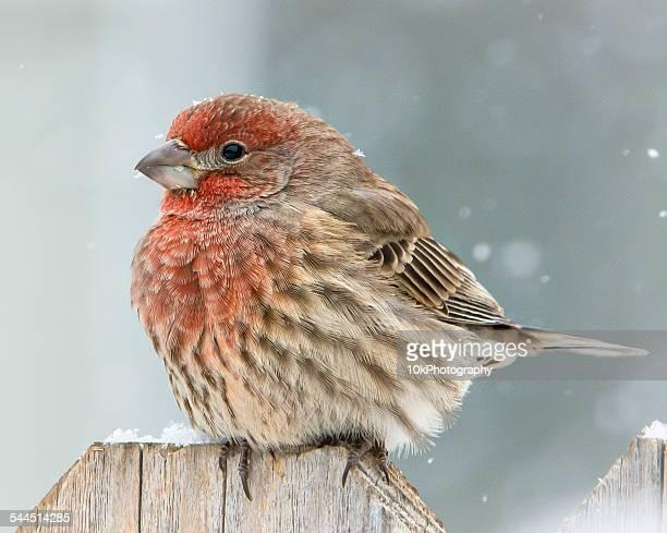 Portrait of Fluffy Finch in winter