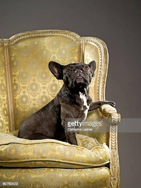 Portrait of french bulldog on fancy chair
