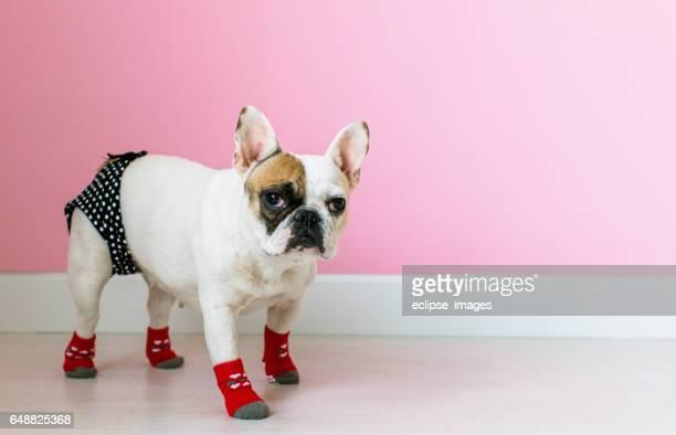 Portrait of french bulldog Puppy Sitting on Foot Stool