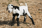 Funny baby goat with out tongue