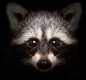 funny raccoon face peered out of the darkness