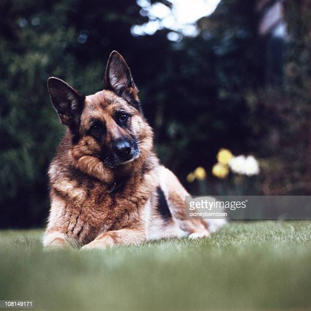 Portrait of German Shepard Dog Sitting in Grass
