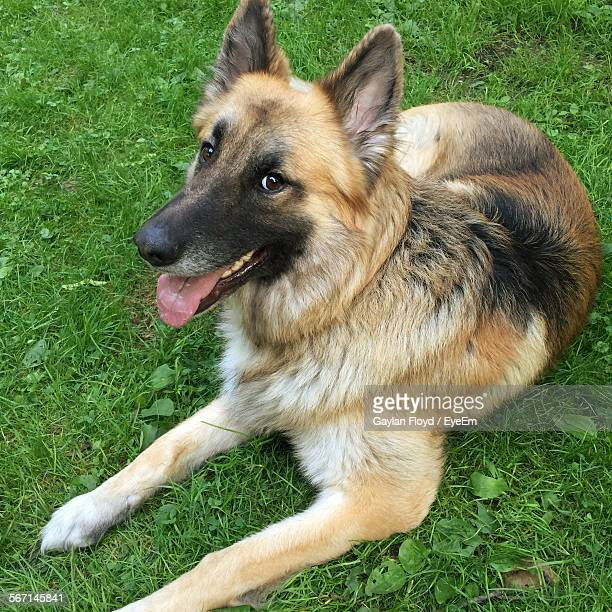 Portrait Of German Shepherd Relaxing On Grassy Field