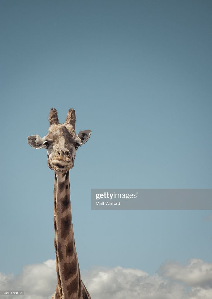 Portrait of giraffe and blue sky