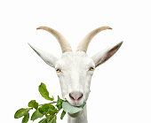 Portrait of goat eats grass. Isolated on white background