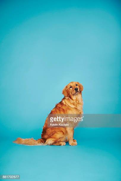 Portrait of golden retriever against blue background