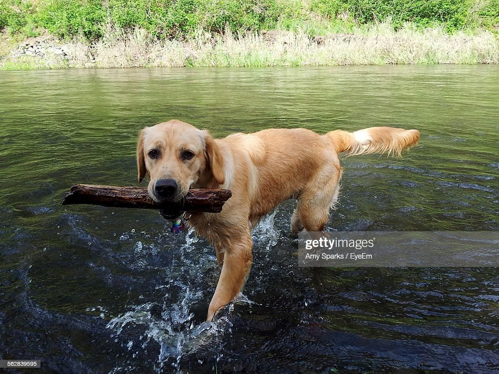 Portrait Of Golden Retriever Dog With Wood In Shallow Wallowa Lake
