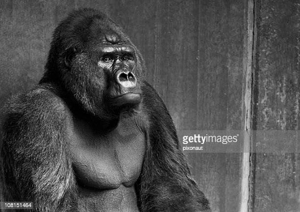 Portrait of Gorilla, Black and White