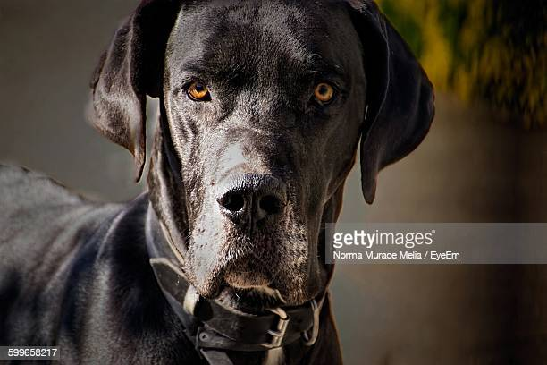 Portrait Of Great Dane