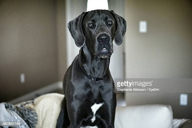 Portrait Of Great Dane Sitting On Bed At Home