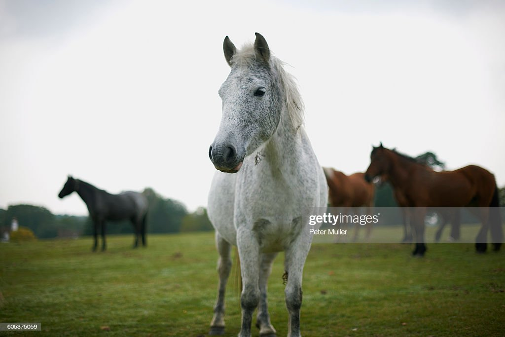 Portrait of grey horse in field