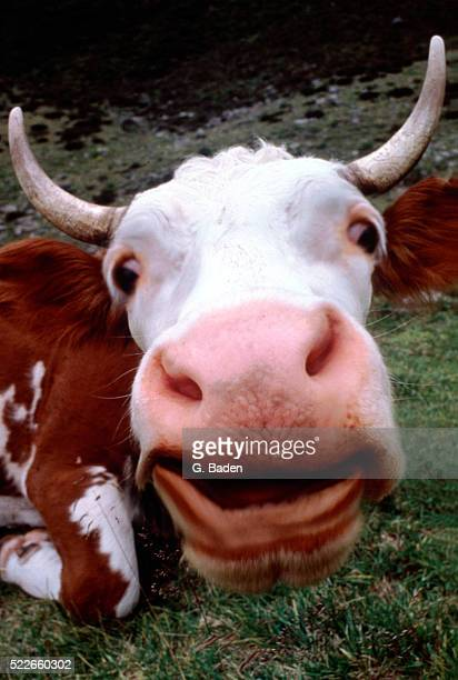 Portrait of Guernsey cattle, extreme close-up