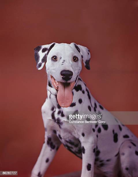Portrait of happy Dalmation sticking tongue out