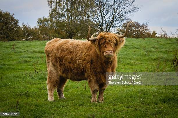Portrait Of Highland Cow In Meadow