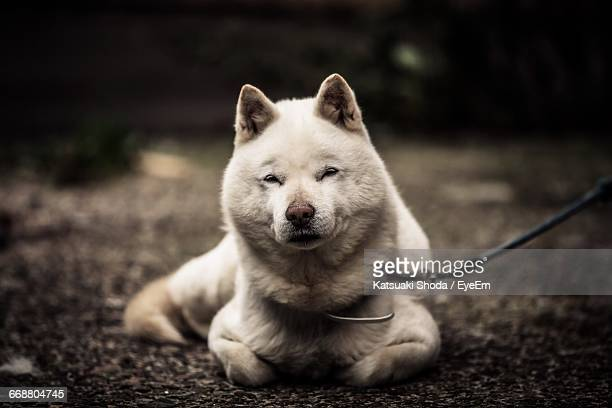 Portrait Of Hokkaido Dog Sitting On Field