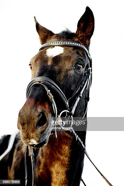 Portrait of horse on white background