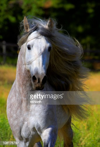 Portrait of Horse with Mane Blowing in Wind  Stallion Andalusian