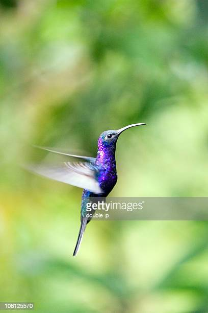 Retrato de Hummingbird volando en selva tropical