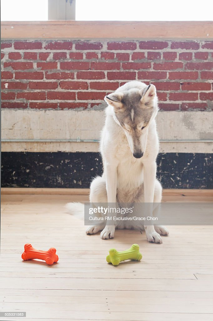 Portrait of husky dog looking down at dog bones on floor