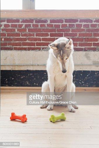 Portrait of husky dog looking down at dog bones on floor