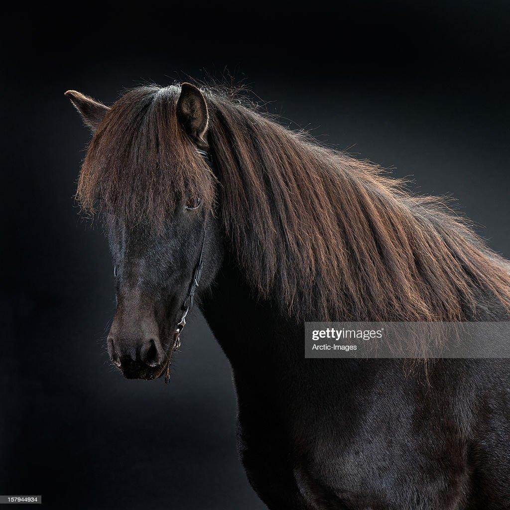 Portrait of Icelandic Horse, Iceland : Stock Photo