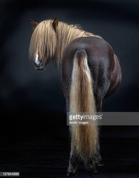 Portrait of Icelandic Horse, Iceland