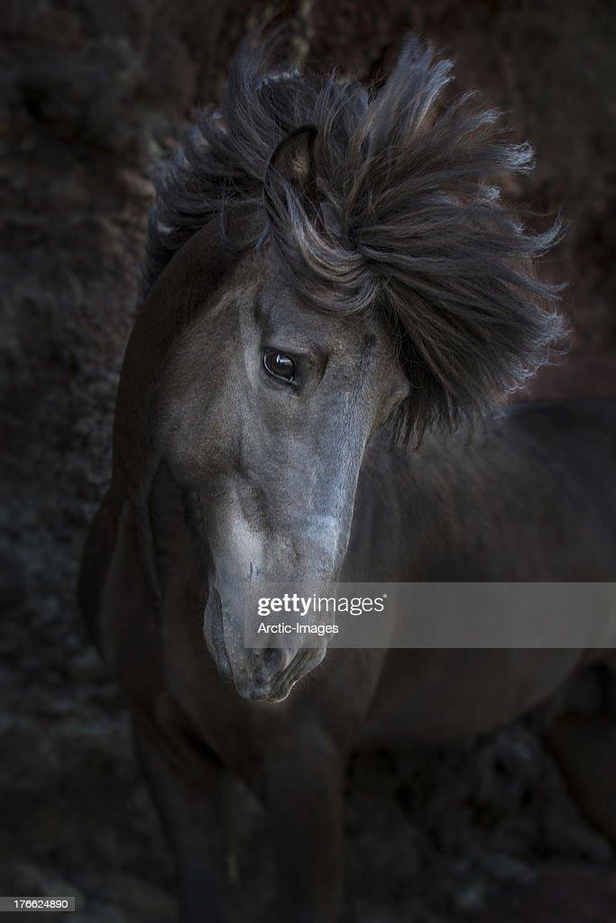 Portrait of Icelandic Stallion, Iceland : Stock Photo