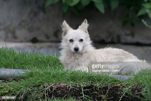 Portrait Of Indian Spitz Resting In Lawn