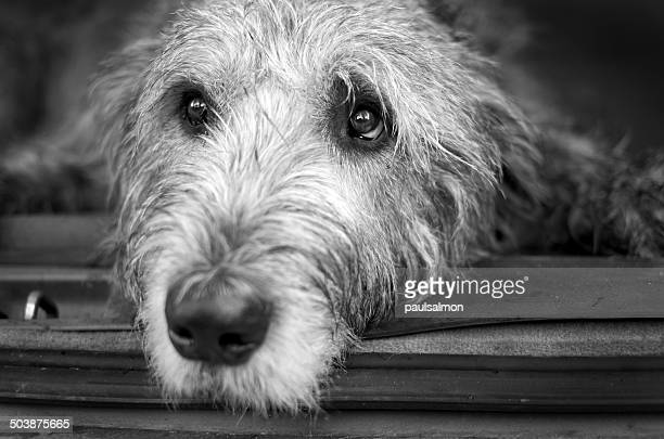 Portrait of Irish Wolfhound lying down