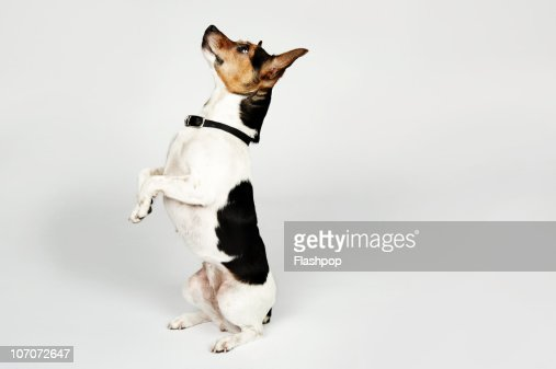 Portrait of Jack Russell dog sitting up on his bac