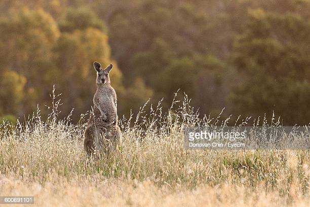 Portrait Of Kangaroo On Field At National Park