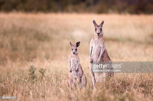 Portrait Of Kangaroos On Field At National Park