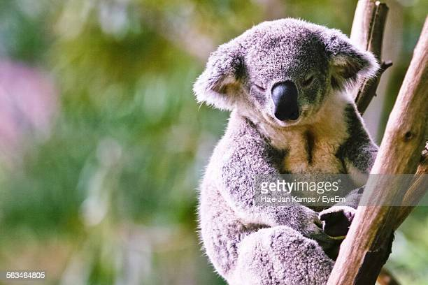 Portrait Of Koala Bear