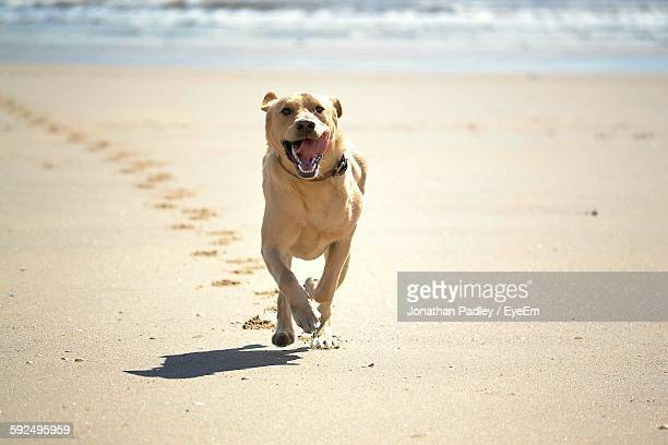 Portrait Of Labrador Retriever Running On Sand At Beach