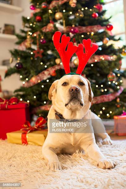 Portrait of labrador retriever wearing christmas antlers