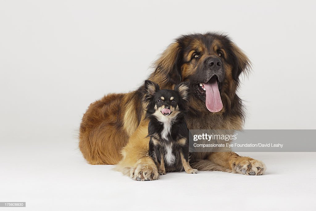 Portrait of Leonberger and Chihuahua : Stock Photo