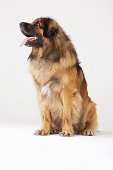 Portrait of Leonberger, sitting
