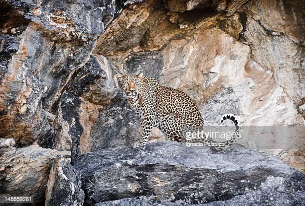 Portrait of leopard (Panthera pardus).