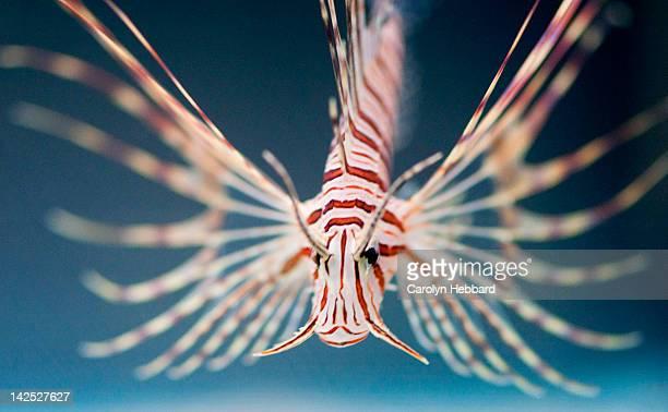Portrait of Lion Fish