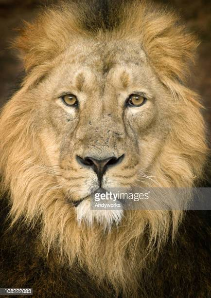 Portrait of Lion Looking at Camera