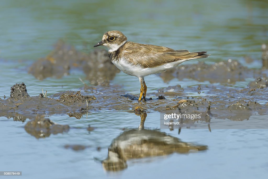 Portrait of Little Ringed Plover : Stock Photo
