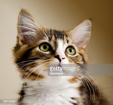 Portrait of Little Tabby Kitten Looking Up