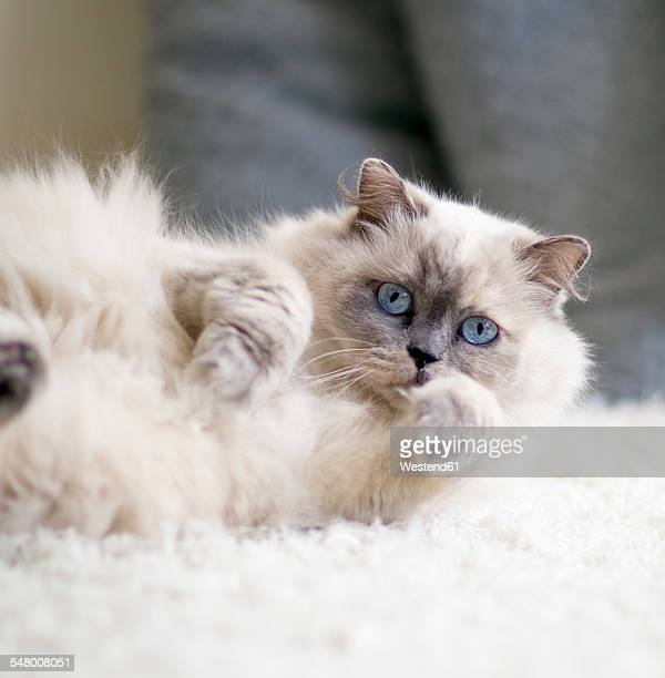 Portrait of longhair cat with blue eyes lying on a carpet