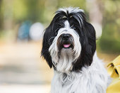 Close up portrait of lovely Tibetan terrier dog with a curious look and open mouth, sitting in the park and relaxing