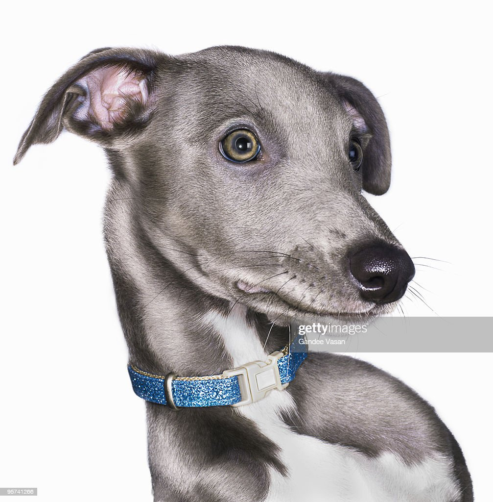 Portrait of Lurcher/Whippet Dog : Stock Photo