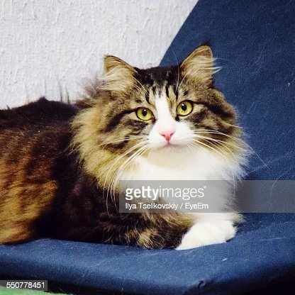 Portrait Of Maine Coon Resting On Sofa