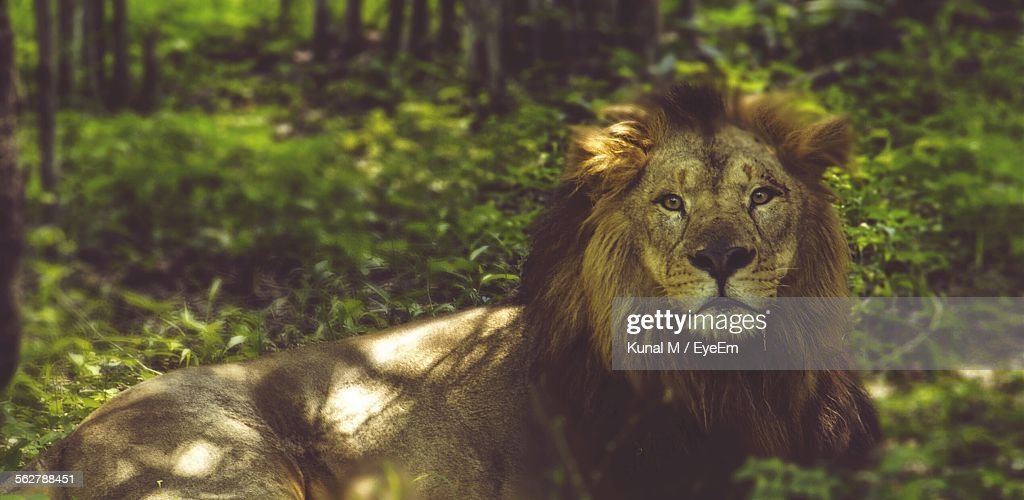 Portrait Of Male Lion Lying Woodland