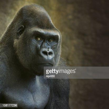 Portrait of Male Lowland Gorilla in Captivity